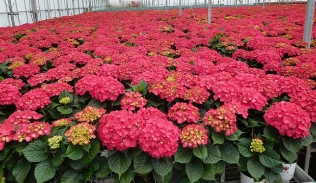 ΟΡΤΑΝΣΙΕΣ - ΠΑΡΟΧΗ για τα μέλη απο την επιχείρηση Salamis Flowers